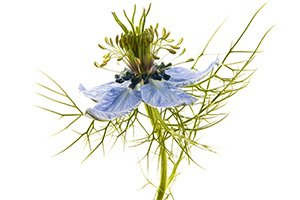 nigella sativa flower