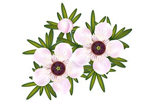 tea tree flowers