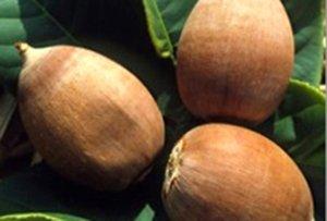 gousses de graines de babassu