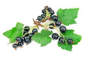 fruits et feuilles de cassis