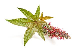 plante de ricin