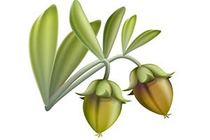 jojoba seed pods illustration