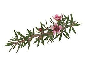brindille et fleurs de manuka