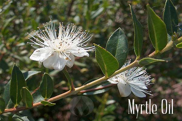 myrtle flower and branch