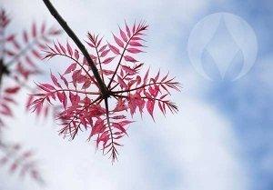 blue sky pink leaves