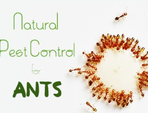 Natural Pest Control for Ants
